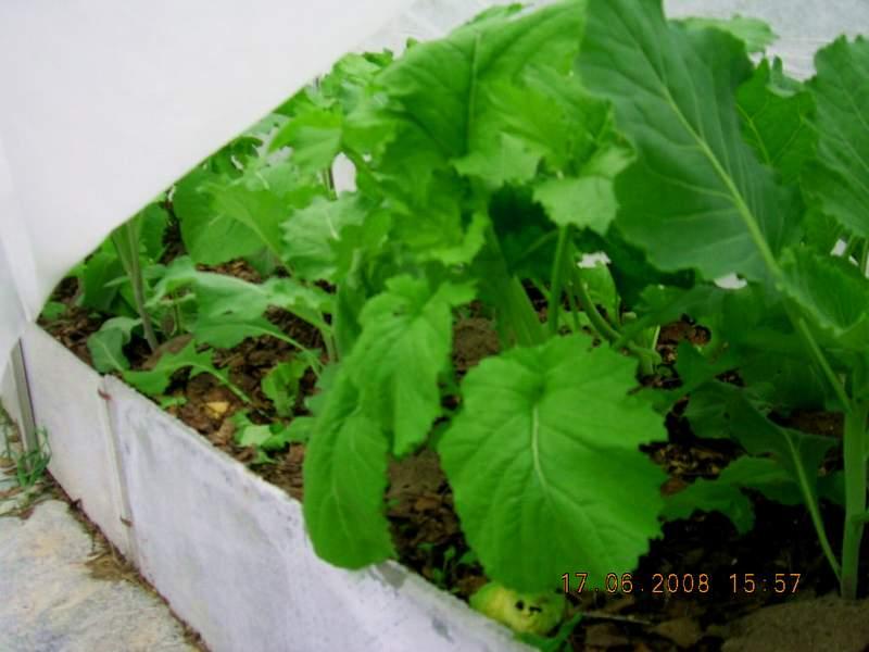 Горчица старый лекарь выращивание в домашних условиях 28